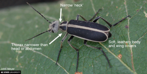 Cover photo for Blister Beetles of Hay and Forages in North Carolina