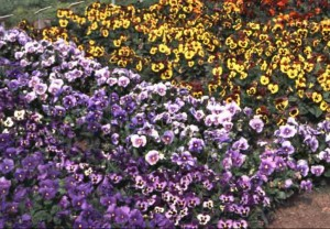 lavendar and yellow pansies in flower