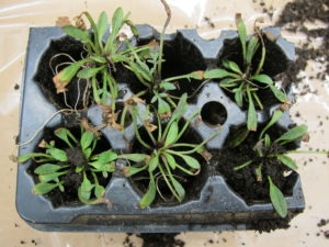 """Small coreopsis plugs with """"burn"""" of leaf tips."""