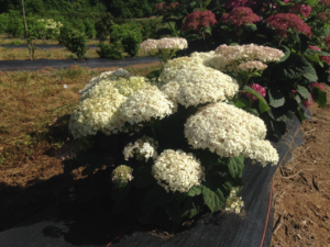 Cover photo for Invincibelle Wee White Wins Best New Plant Award!