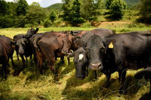 Image of cattle grazing in field