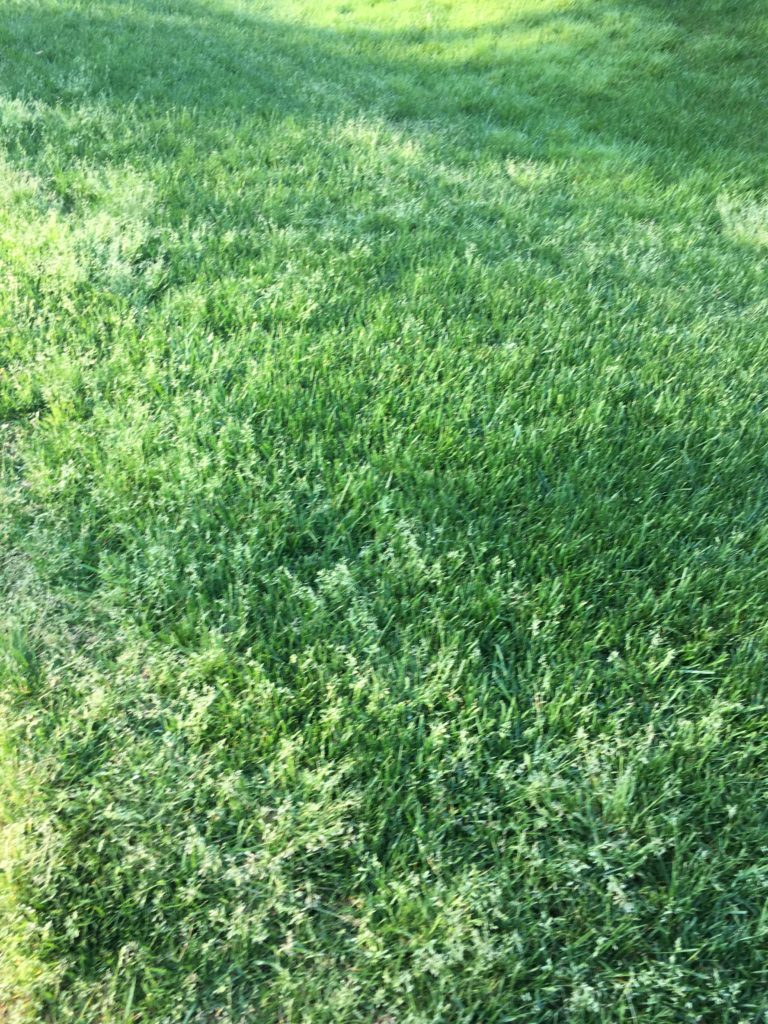 Poa annua infestation in a lawn