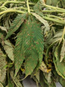 Cover photo for Plant Disease and Insect Clinic Resuming Regular Services for Hemp