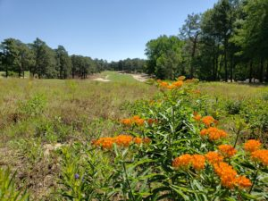Pollinator habitat in turfgrass