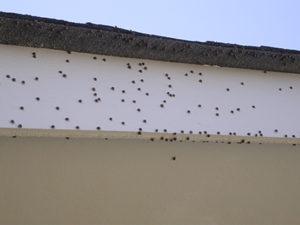 Kudzu bugs on white house trim