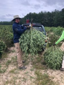 Man holding a hemp plant that was just harvested in the field