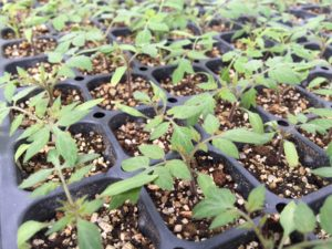 Healthy tomato seedlings