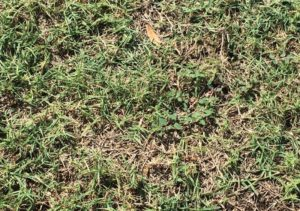 Cover photo for New Factsheet: Bermudagrass Mites