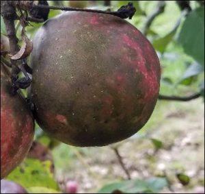 Flyspeck and Sooty Blotch on Apple