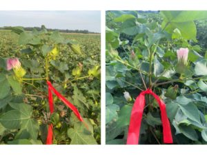 Cover photo for Top vs. Bottom Crop…Deciding Which Crop to Chase (Collins & Edmisten)