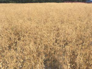 Cover photo for Grain Pea Production in North Carolina