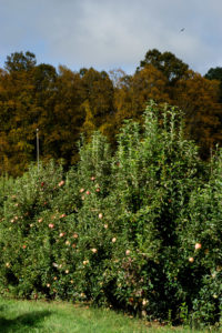 Cover photo for WNC Orchard Insect Pest Populations - October 13, 2020