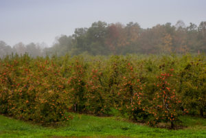 Cover photo for WNC Orchard Insect Pest Populations - October 6, 2020