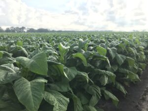 Cover photo for From the Field - Agronomy Notes: Vol. 5, Num. 4