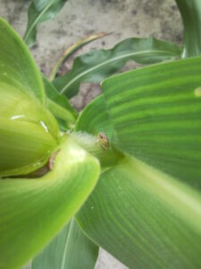Cover photo for Managing Stink Bugs in Corn