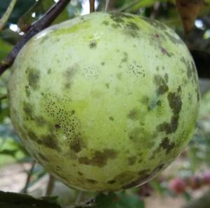 Flyspeck Sooty Blotch on Apple