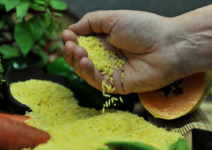 """Cover photo for Philippines Becomes First Country to Approve Nutrient-Enriched """"Golden Rice"""" for Planting"""