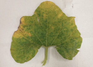 CDM symtoms on squash leaf