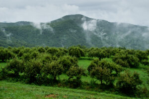 Cover photo for WNC Orchard Insect Pest Populations - August 3, 2021