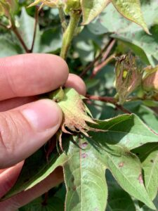 Cover photo for Should You Stop Treating Cotton for Insects?
